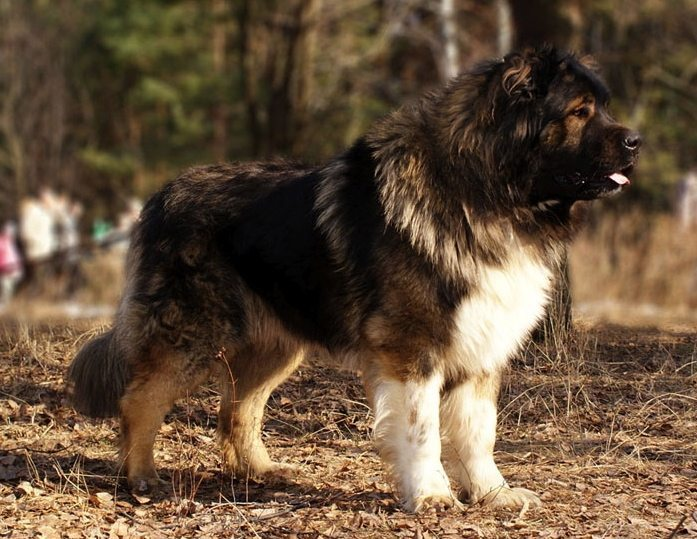 perrodepastordelcaucaso1 Perro de Pastor del Cáucaso Perro de Pastor del Cáucaso perrodepastordelcaucaso1