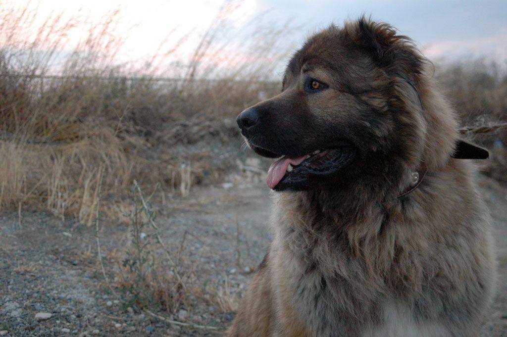 perrodepastordelcaucaso2 Perro de Pastor del Cáucaso Perro de Pastor del Cáucaso perrodepastordelcaucaso2