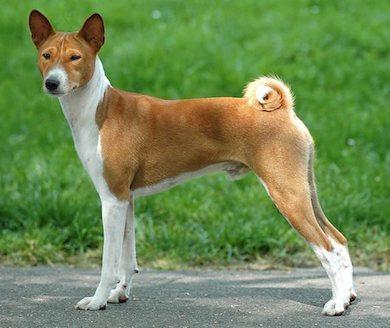raza-perros-basenji Basenji Basenji raza perros basenji