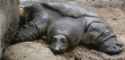 La tortuga de caparazón blando espinoso La tortuga de caparazón blando espinoso La tortuga de caparazón blando espinoso 195 Tortuga de closca tova africana