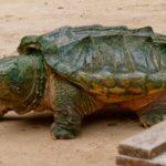 Tortuga aligátor