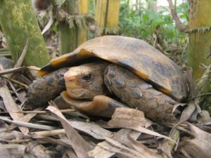 Manouria tortuga 2 Tortuga oscura de Birmania Tortuga oscura de Birmania Manouria tortuga 2