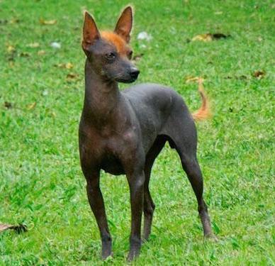 perro-sin-pelo-del-peru Perros sin pelo del Perú Perros sin pelo del Perú perro sin pelo del peru 2