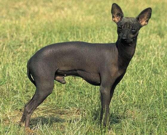 perro-sin-pelo-del-peru Perros sin pelo del Perú Perros sin pelo del Perú perro sin pelo del peru
