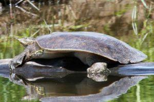 tortugas de caparazón blanco de Nueva Guinea tortugas de caparazón blanco de Nueva Guinea spiny softshell