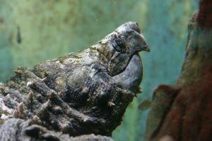 tortuga aligator Tortuga aligátor Tortuga aligátor tortuga aligator 1