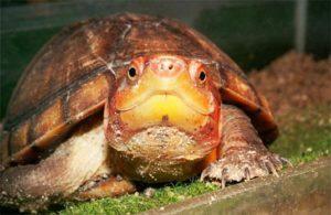 tortuga candado Tortuga Candado Tortuga Candado tortuga candado 1