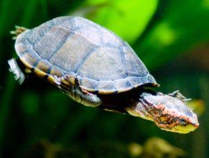 tortuga candado Tortuga Candado Tortuga Candado tortuga candado