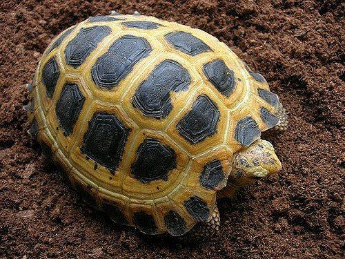 tortuga de Sulawesi La tortuga de Sulawesi La tortuga de Sulawesi tortuga de Sulawesi
