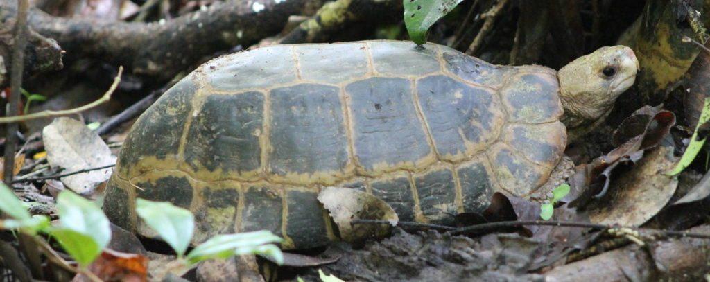 tortuga de cabeza amarilla La tortuga de cabeza amarilla La tortuga de cabeza amarilla tortuga de cabeza amarilla 1