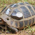 La tortuga de cabeza amarilla