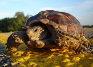 tortuga de desierto de Texas Tortuga de desierto de Texas Tortuga de desierto de Texas tortuga de desierto de Texas 1
