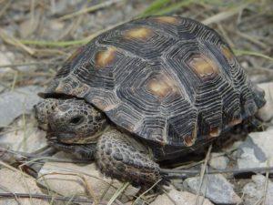 tortuga de desierto de Texas Tortuga de desierto de Texas Tortuga de desierto de Texas tortuga de desierto de Texas