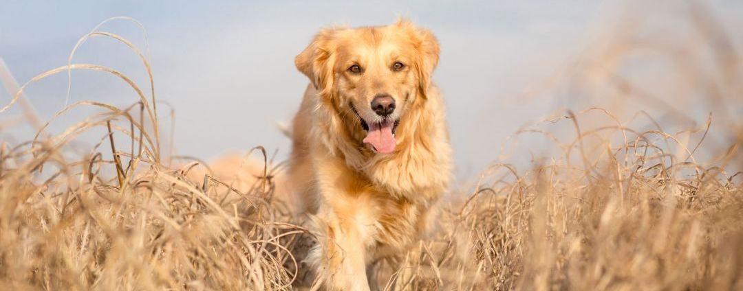 espigas-perro Cuidado con las espigas en nuestras mascotas Cuidado con las espigas en nuestras mascotas espigas perro