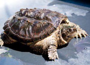 tortuga mordedora Tortuga Mordedora Tortuga Mordedora tortuga mordedora 1
